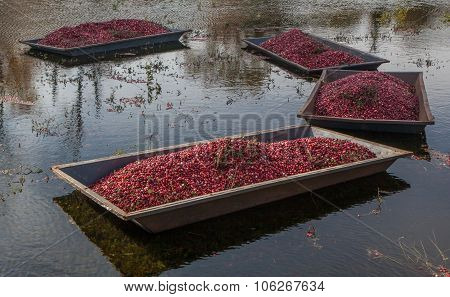 Harvested cranberries in the field