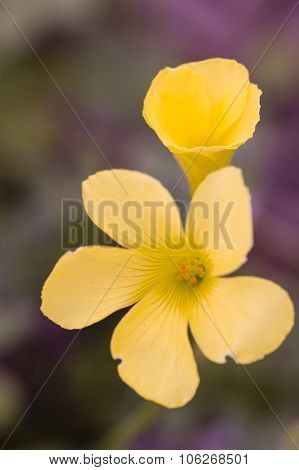 Yellow Flowers Of Clower Plants