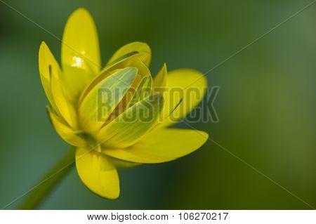 Golden Button Flower