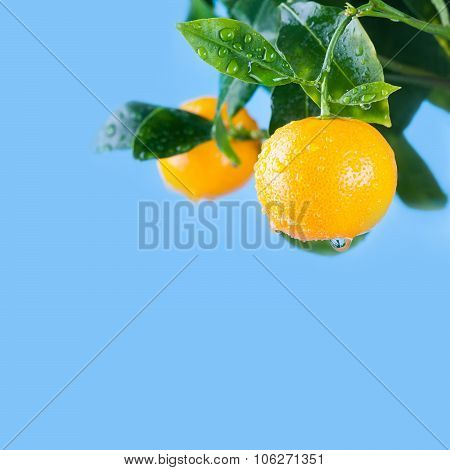 Citrus, orange, mandarin fruits branch in the garden. blue background