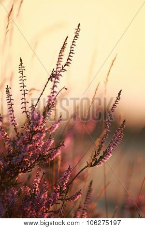 Heather Flowers Close Up At Sunset