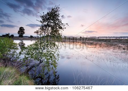 Birch Tree By River At Sunrise