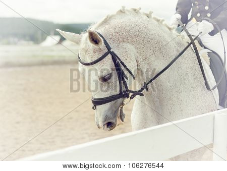 The white horse at competitions