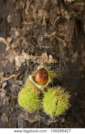 Sweet Chestnuts On A Log