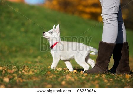 adorable siberian husky puppy outdoors in autumn