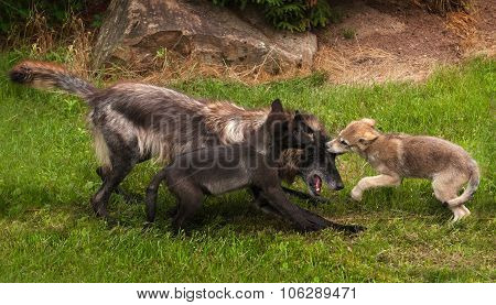Pups And Black Phase Grey Wolf (canis Lupus) Play