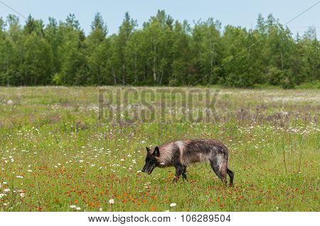 Black Phase Grey Wolf (canis Lupus) Walks Through Field