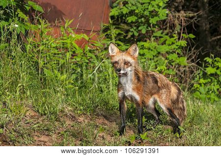 Red Fox Vixen (vulpes Vulpes) Stands Near Old Truck