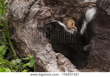 Baby Striped Skunk (mephitis Mephitis) Looks Left