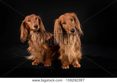 Two Longhaired Dachshund Dogs