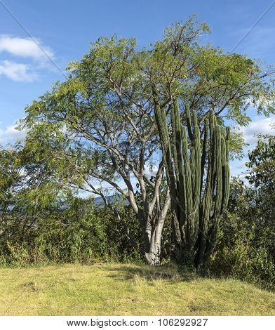Pachycereus Pringlei Cactus At Monte Alban