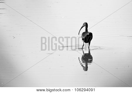Silhouetted White-faced Ibis Standing In The Shallow Pond