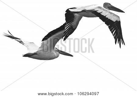 Two American White Pelicans Flying On A White Background