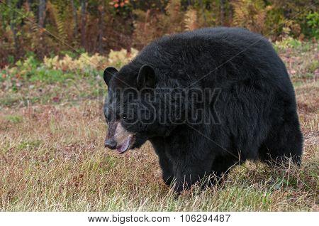 Adult Female Black Bear (ursus Americanus) In Field