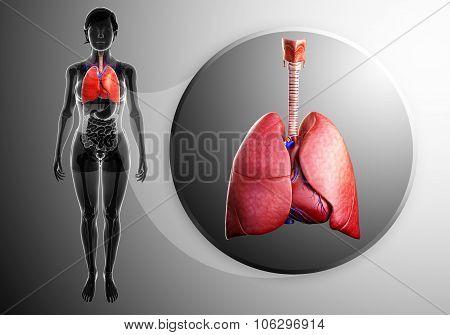 Human Lungs Anatomy