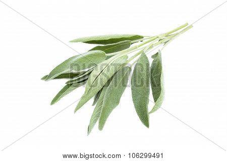 Green Sage Branch