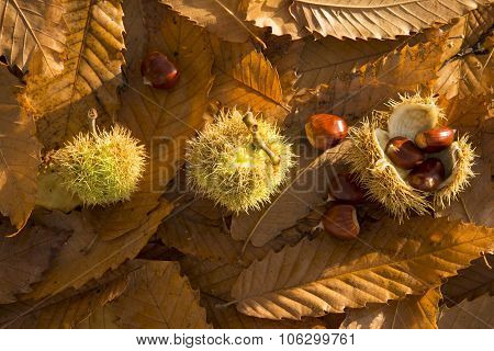 Three Chestnut Shells On A Leafy Background