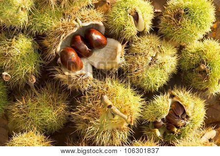 Chestnut Husks