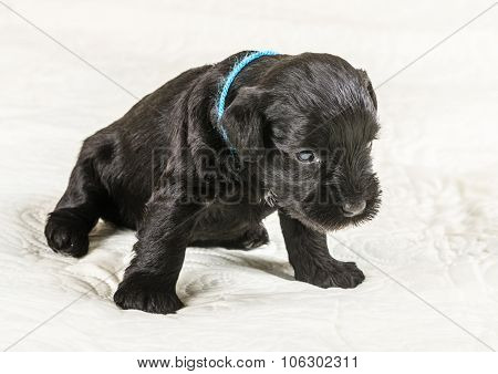 Small Puppi Breed Miniature Schnauzer