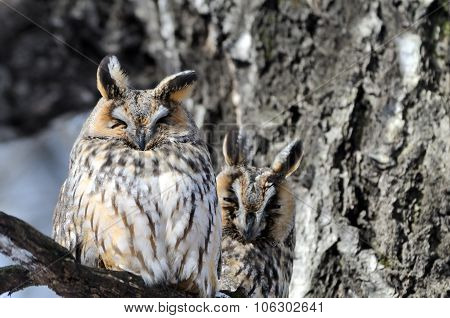 Two Camouflaged Long-eared Owls At Birch Tree In Spring