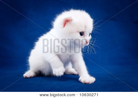 Little Fluffy Kitten On A Blue Background