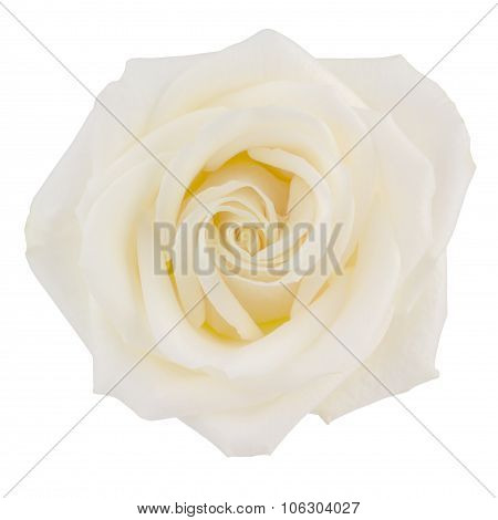 White Hybrid Tea Rose On White