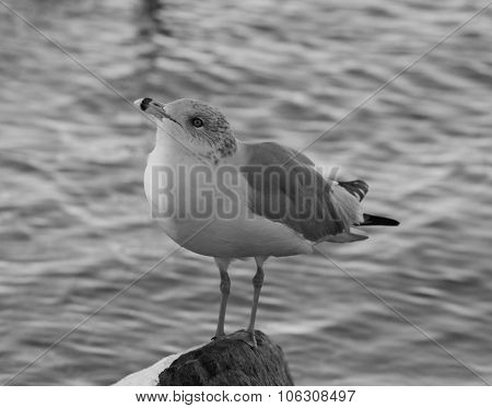 Beautiful Black And White Close-up Of A Gull