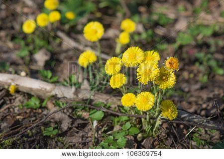 Yellow coltsfoot in forest ground