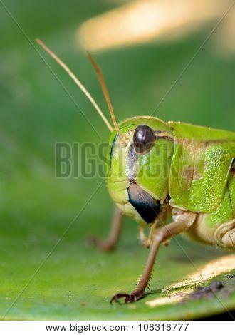 Close Up Of Locust Asia