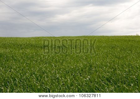 Field Sown With Grass To The Horizon