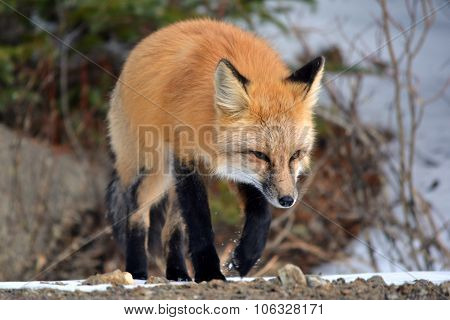 Red Fox Walking Through Snow