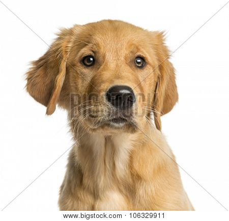 Close-up of a Golden Retreiver puppy in front of a white background