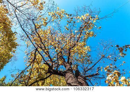 Autumn tree against the sky