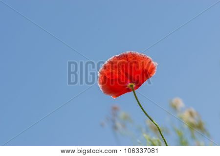 Red poppy against blue cloudless sky