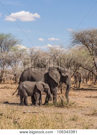 African Elephants In Tarangire National Park, Tanzania