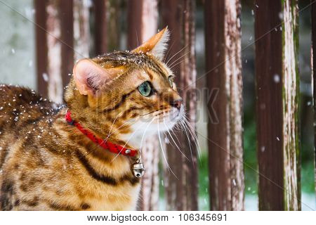Bengal Cat in the Snow