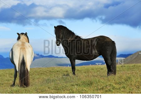Horses On The Meadow, Iceland