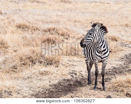 Zebras In Ngorongoro Crater In Africa