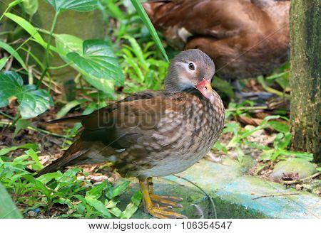 Carolina Duck Standing