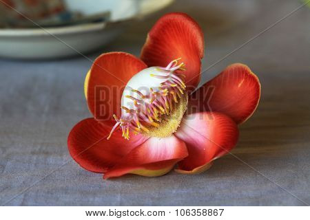 Cannon Ball Flower Only For Lord Shiva