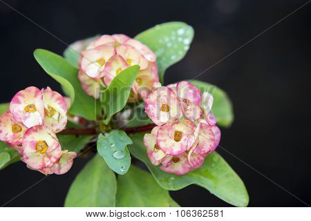 Pink Euphorbia Milii Flowers Blooming And Refreshing Drops Of Dew In The Morning.