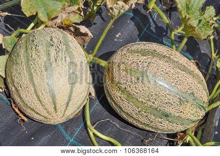 Muskmelon Fruits