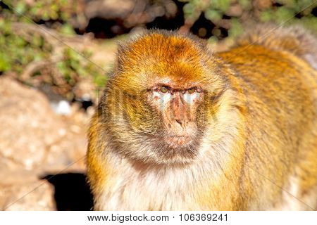 Bush Monkey In   Morocco  Fauna Close Up