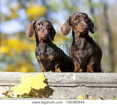 tvo dachshund dogs on autumn forest with leaves