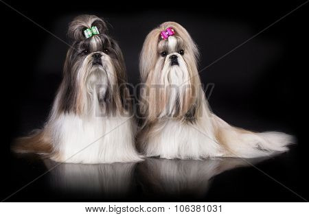 Shih tzu dog, glamour studio-shooting on dark background
