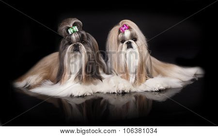 Shih tzu dog on a black background