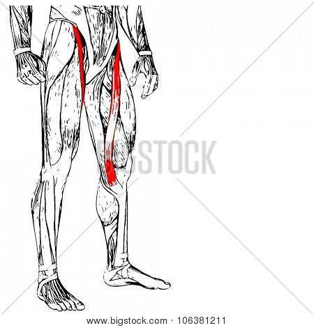 Concept or conceptual 3D human upper leg anatomy or anatomical and muscle isolated on white background