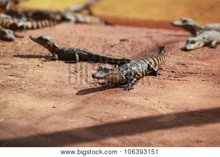 Small Crocodiles In Crocodile Farm