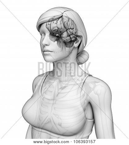Human Brain Antomy