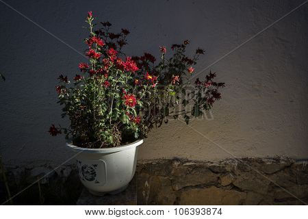Red Chrysanthemum Flowers In A Flowerpot With Shadow And Nature Light In Front Of The Wall